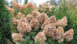 Гортензия – уход осенью, подготовка к зиме