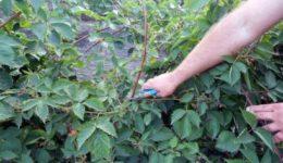 Как обрезать ежевику осенью, чтобы был хороший урожай