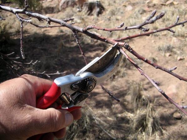 Подготовка к укрытию яблони первогодки