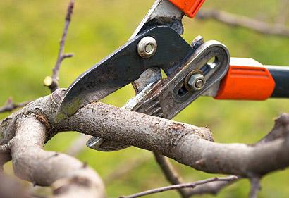 Когда и как обрезать грушу осенью