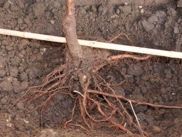 Как правильно посадить грушу – пошаговое руководство