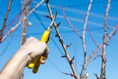 Обрезка сливы весной - схема для начинающих, как правильно обрезать сливу.