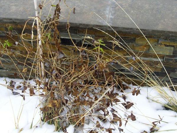 Когда готовить жимолость к зиме по регионам