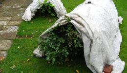 Как укрыть розы на зиму: плетистые, парковые, флорибунда и др.
