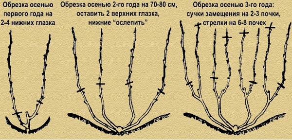 Особенности обрезки молодого куста