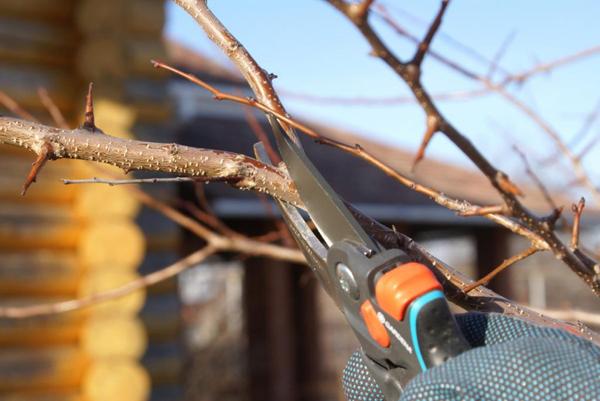 Нужно ли обрезать груши осенью