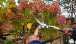 Как обрезать гортензию осенью перед укрытием: схема с фото и видео