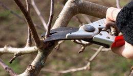 Когда и как обрезают яблони осенью: молодую, старую, колоновидную