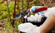 Как обрезать ремонтантную малину осенью. Когда обрезать, уход