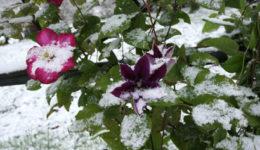 Уход за клематисом осенью, подготовка к зиме. Обрезка, подкормка