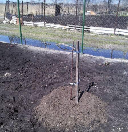 На Урале, в Сибири посадка яблони