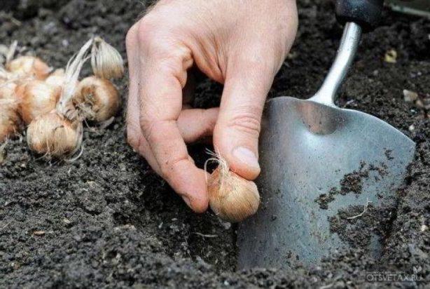 Когда сажать крокусы в открытый грунт