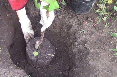 Как правильно посадить яблоню осенью сроки схема