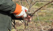 Как обрезать виноград осенью, чтобы был хороший урожай