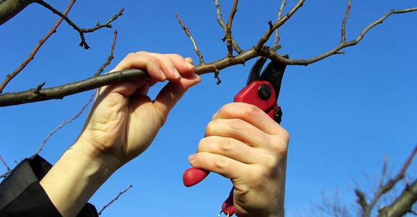 Нужно ли обрезать яблони осенью