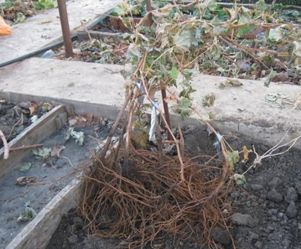 Когда пересаживать виноград осенью