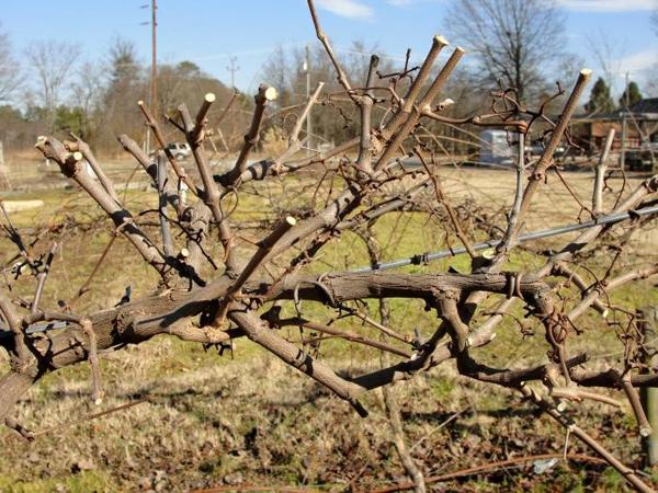 Когда обрезать виноград осенью