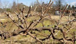 Как правильно обрезать виноград осенью для начинающих - схема в картинках