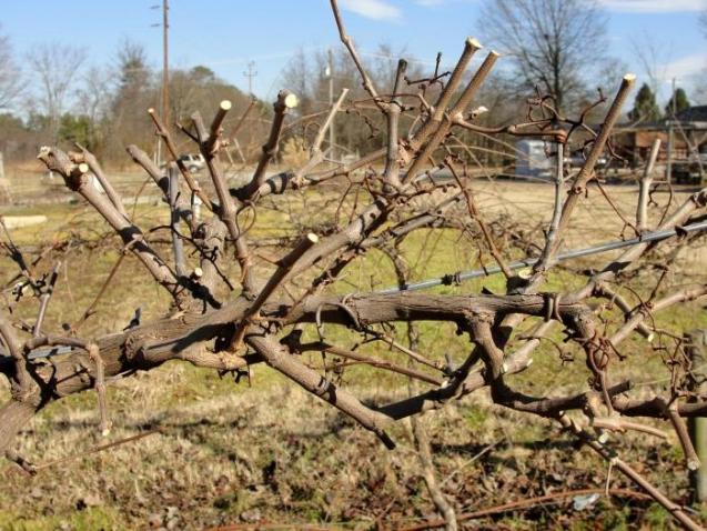 Как правильно обрезать кусты винограда для новичков