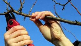 Как обрезать вишню осенью: войлочную, кустовую, старую, молодую
