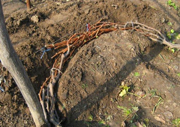 Надо ли укрывать на зиму виноград
