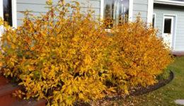 Жимолость: уход осенью, подготовка к зиме. Обрезка, подкормка