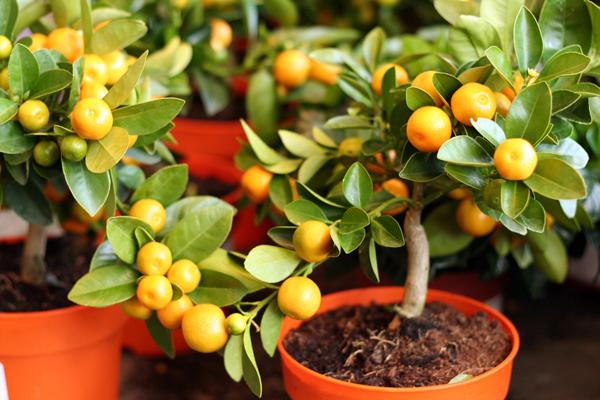 Сорта мандаринов для выращивания дома