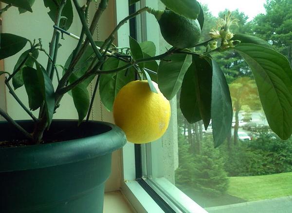 Какие условия нужны для роста лимона