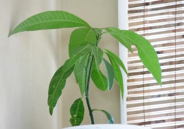 Можно ли вырастить манго из косточки дома, какие условия ему нужны