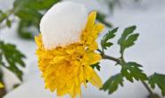Как укрыть хризантемы на зиму: мультифлора, шаровидные, в теплице