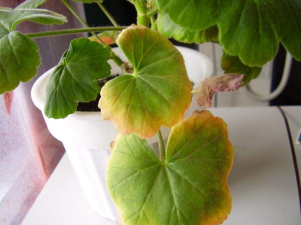 Если желтеют и сохнут листья