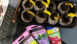 Как вырастить эустому из семян в домашних условиях. Уход