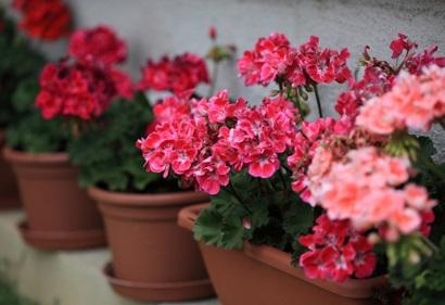 Герань-уход в домашних условиях для начинающих цветоводов