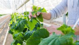 Выращивание огурцов в теплице из поликарбоната. Посев, уход, сорта