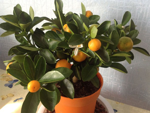 Когда мандарин начинает плодоносить?