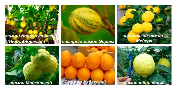 Сорта лимонов для выращивания дома