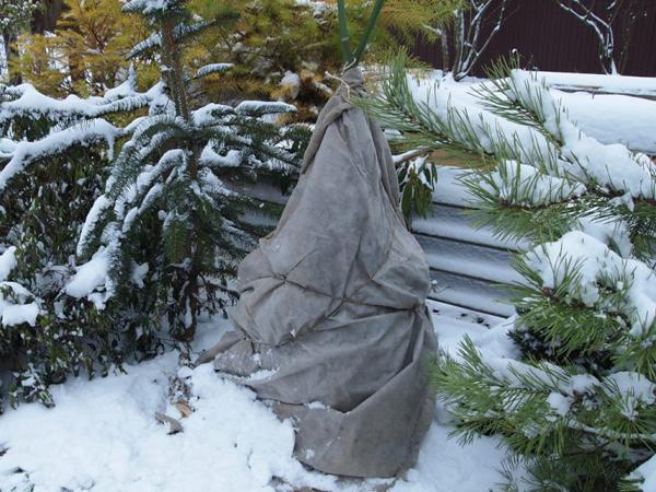 Нужно ли укрывать рододендрон на зиму?