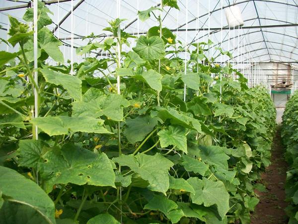 Условия, необходимые для хорошего роста огурцов