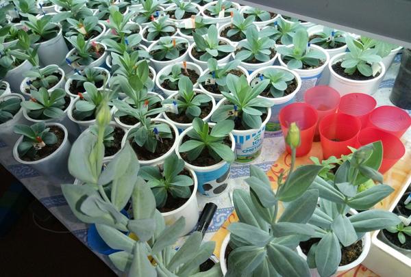 Почему нужно выращивать эустому через рассаду?
