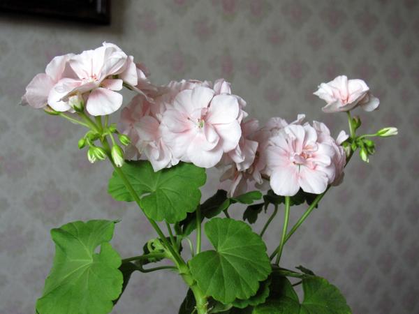 Какие условия нужны для хорошего роста герани дома