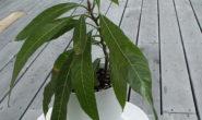 Как вырастить манго из косточки. Посадка, подкормки, формирование
