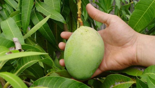 Можно ли получить дома плоды?