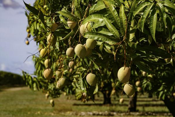 Описание дерева манго, где растет