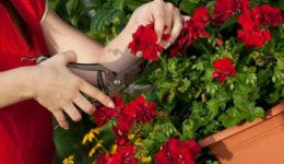 Герань – обрезка для пышного цветения. Осенью, весной, схема