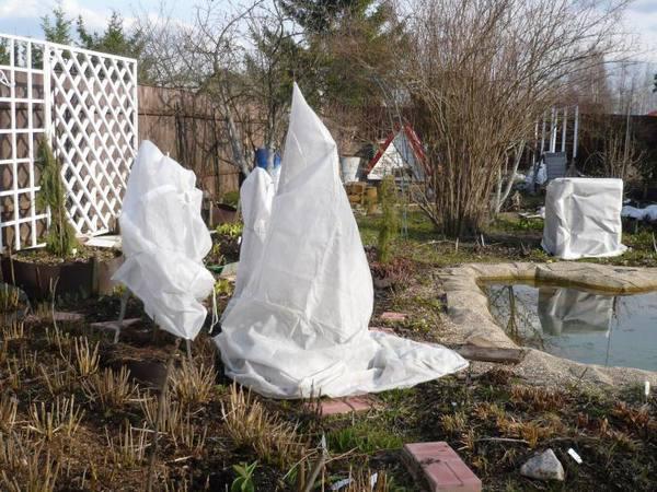 Как правильно укрыть рододендрон на зиму