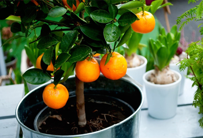 Как из косточки мандарина вырастить дерево