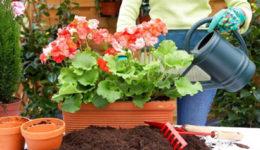Чем подкормить герань для обильного цветения дома. Зимой, летом