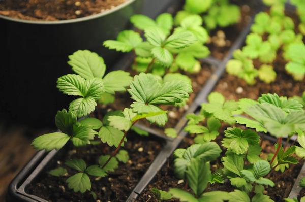 Преимущества выращивания клубники из семян