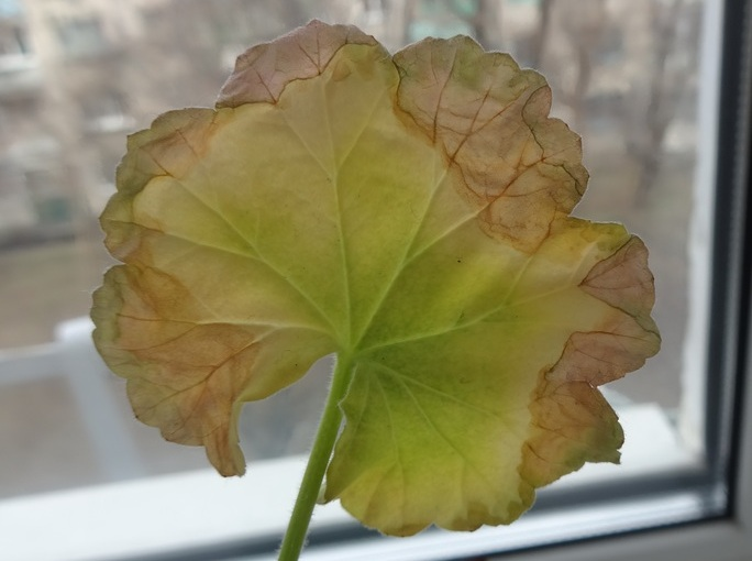 Листья желтеют и сохнут по краям