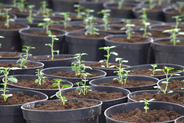 Какие нужны условия для выращивания картофеля дома